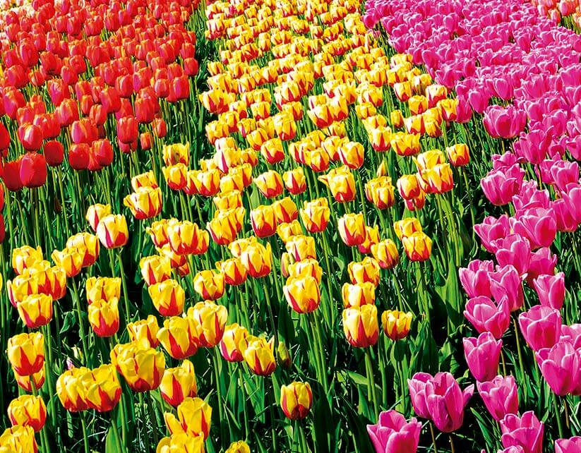 TULIPANES<br /><strong>TULIPANES A (AMSTERDAM-MADRID) <strong class='extra_info_articulo'>- desde 2250.00 €  </strong></strong>